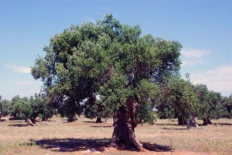 Olive Tree Tax